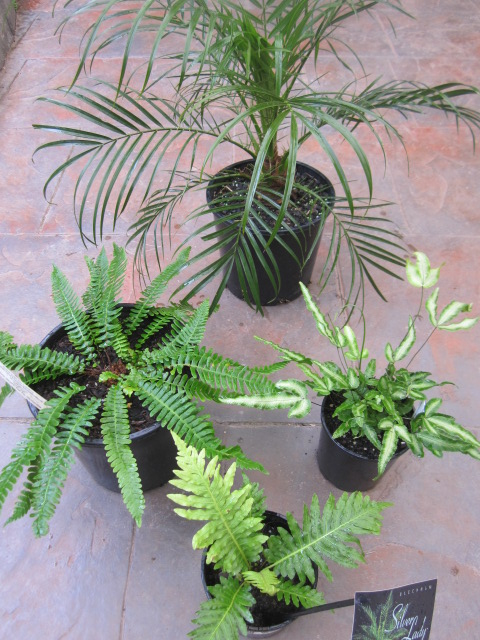 one palm and three ferns