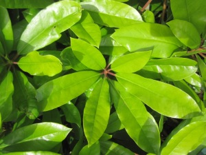 rhododendron leaves