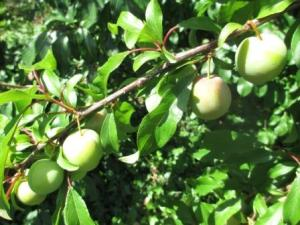 eight green plums