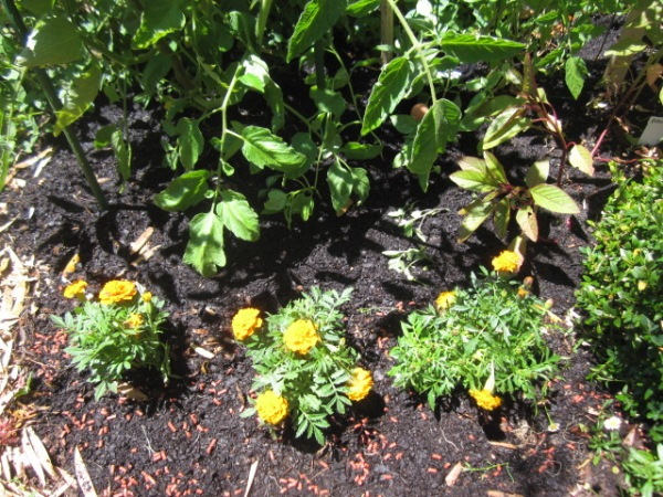 marigolds adjacent to tomatoes