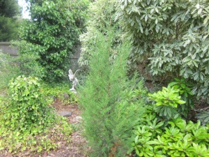 rogue conifer in the way