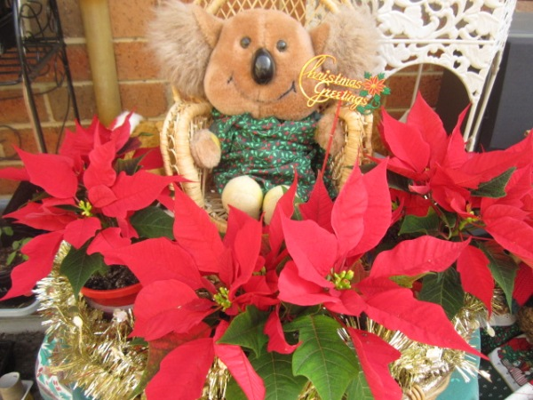 Willy and the poinsettias