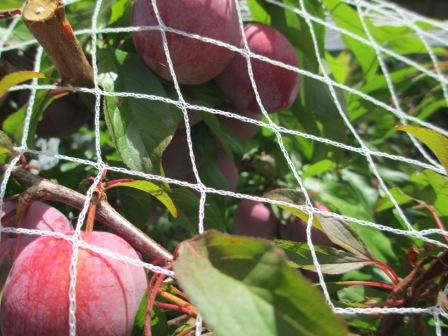 some plums too close to the net
