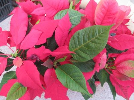 poinsettia still thrives