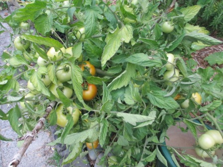 rogue tomatoes ready to harvest