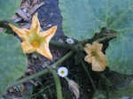 female and male pumpkin flowers