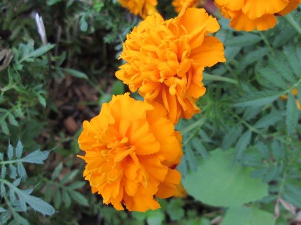 marvellous marigolds