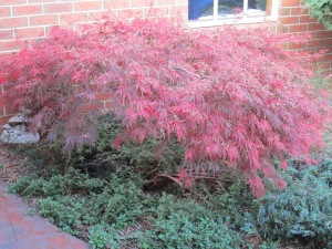 weeping japanese maples in autumn (2)