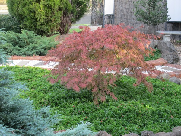 weeping japanese maples in autumn (4)