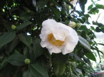 fried egg camellia