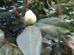 budding white camellia