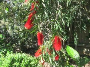 beautiful bottlebrush