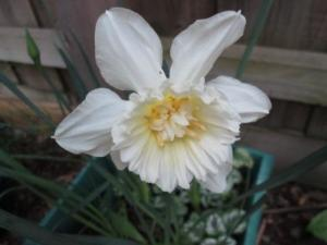 an unusual daffodil