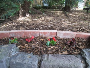 bedding begonias planted