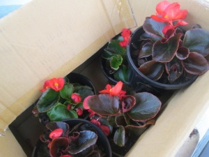 bedding begonias