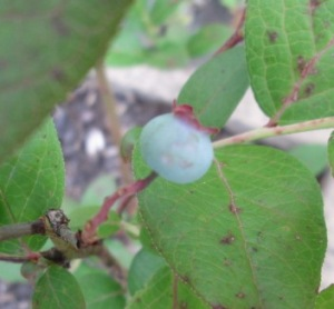 the first blueberry
