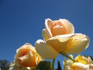 peach roses offset by an azure sky