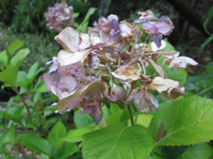shrivelled hydrangea