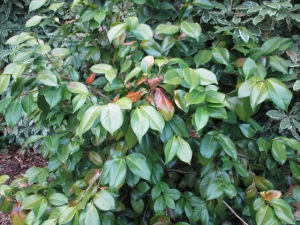 sunburnt leaves on the camellia