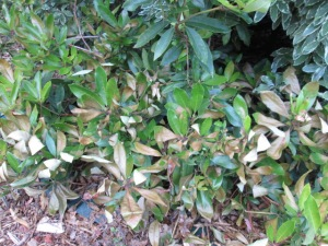 sunburnt leaves on the smaller rhododendron