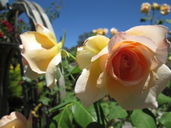 these roses are just peachy