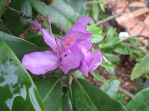 purple rhododendron representing Jack