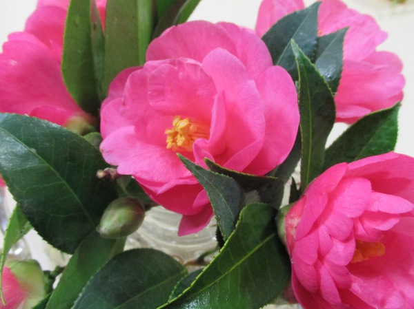 camellias for my birthday (2)
