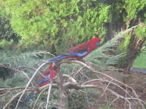 rosellas on the maple