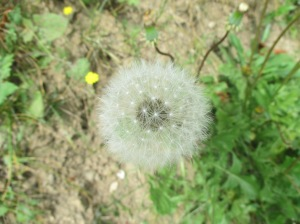 spherical dandelion