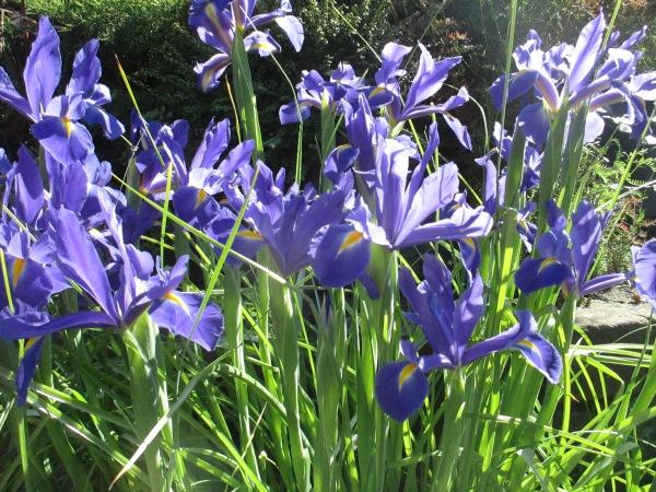 beautiful irises