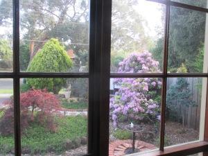 purple rhododendron 2014 (2)