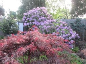 purple rhododendron 2014 (3)