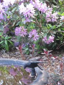 purple rhododendron 2014 (4)