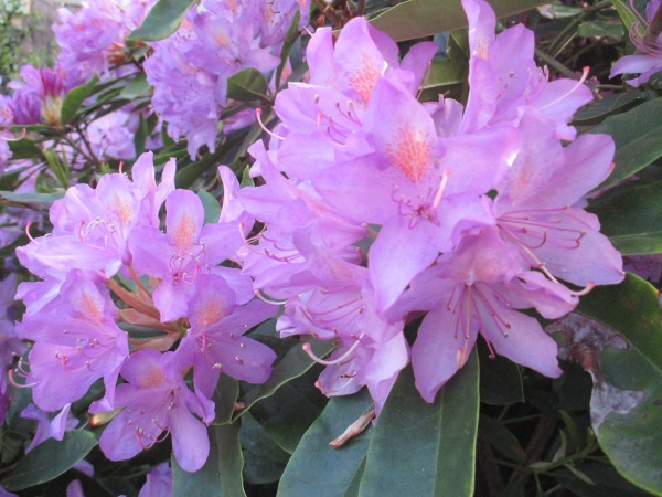 purple rhododendron 2014 (5)
