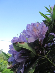 purple rhododendron 2014 (6)