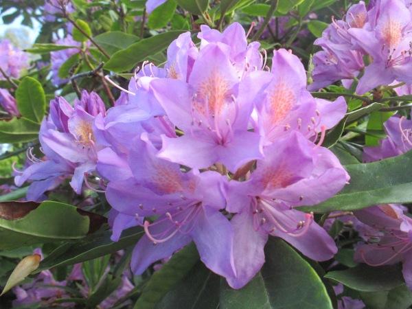 purple rhododendron 2014 (7)