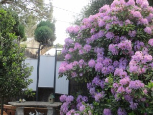 purple rhododendron 2014 (8)