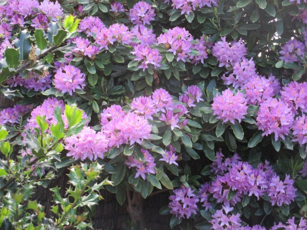 purple rhododendron 2014 (9)