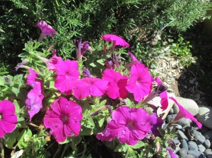 potty about petunias (2)