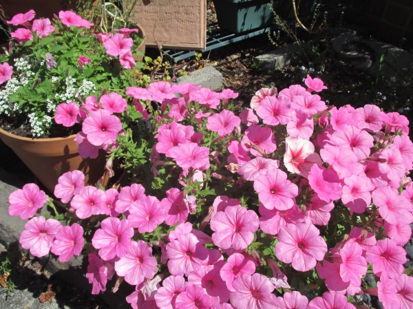 potty about petunias (3)