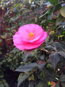 first camellia of the season 2015