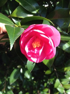 pink camellia 2015