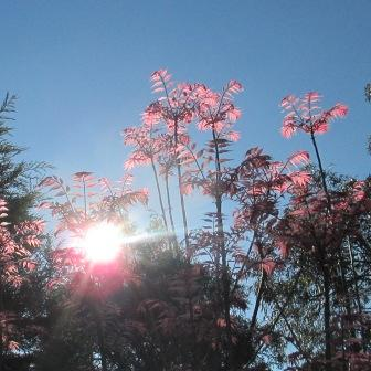 sunlight on pink leaves
