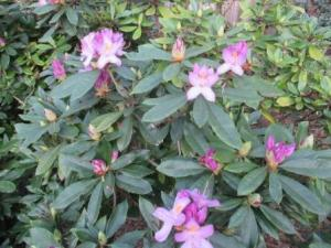 Rhododendron 2015 (2)
